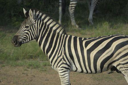 grazer: Plains zebra