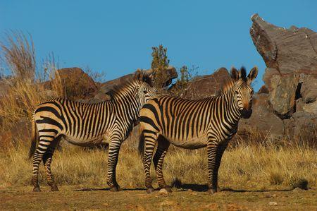 grazer: Mountain zebra Stock Photo