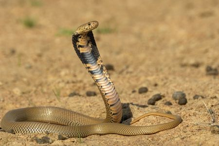 spitting: Mozambique spitting cobra Stock Photo