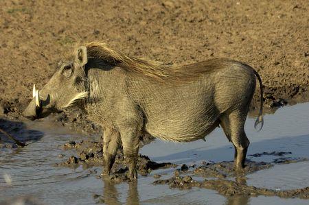 Warthog photo