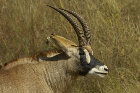 Southern roan antelope Stock Photo - 7539742