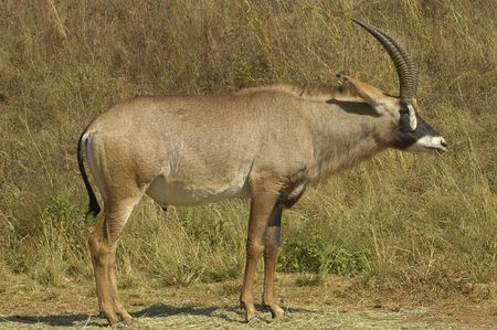 Southern roan antelope photo