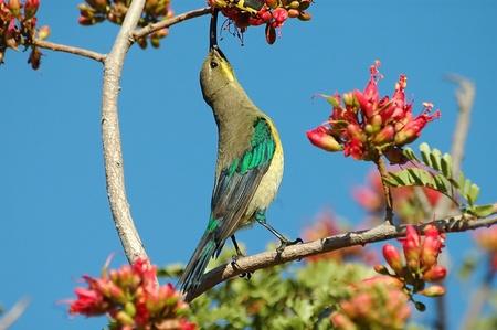 sunbird: Malachite sunbird Stock Photo
