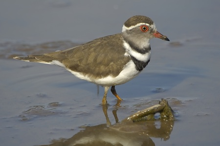 plover: Three-banded plover Stock Photo