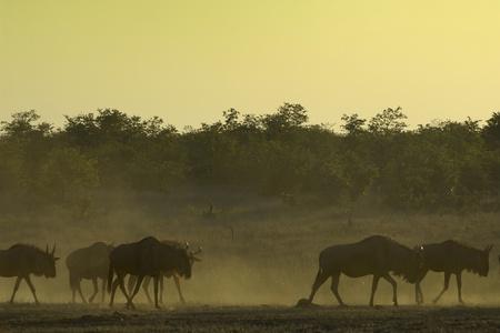 Blue wildebeest at dusk
