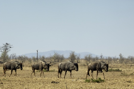 Blue wildebeest Stock Photo - 9273655