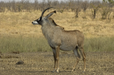 Roan antelope photo