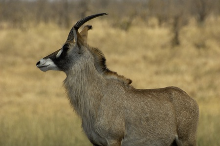 roan: Roan antelope Stock Photo