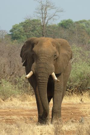 African savannah elephant Stock Photo