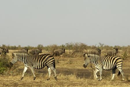Zebras on the savannah