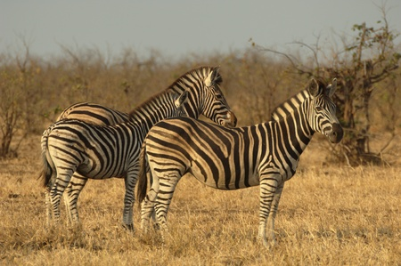 Zebra family - mare with foal and stallion Stock Photo