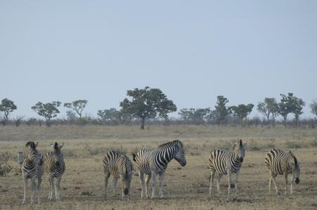 Herd of plains zebra