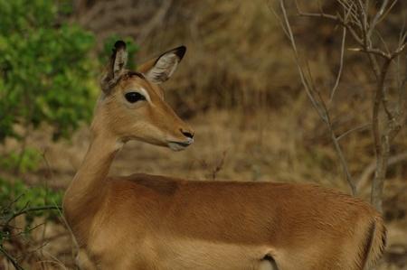 Impala ewe Stock Photo