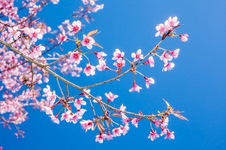shinning: Wild Himalayan Cherry or sakura of Thailand blossom when winters come in a shiny day with a clear blue sky Stock Photo
