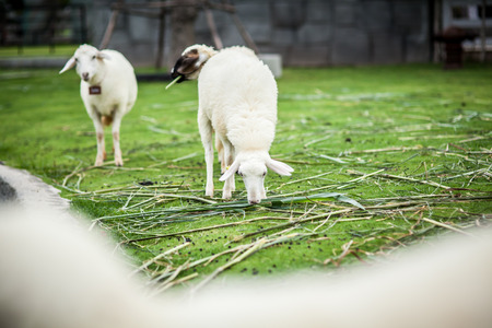 A sheep stand on the green glass in a farm