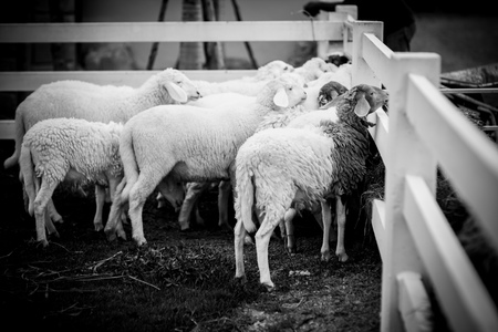 A sheep in farm swarming in the stall for waiting the food near the fence Banco de Imagens
