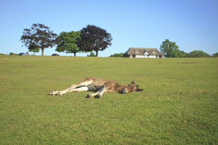 A colt sleeping on the grass in New Forest