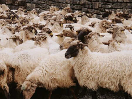GROUP OF BLACK-SIDED SHEEP FROM THE BASQUE COUNTRY