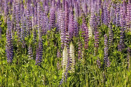 Wild lupins bloom in a meadow among the forest.
