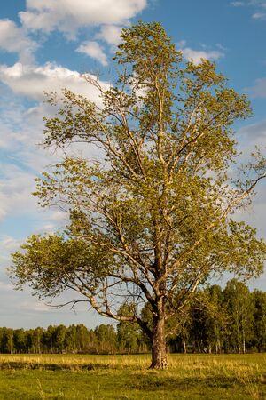 Viejo álamo solitario de pie en el campo en un día soleado. Paisaje. Foto de archivo