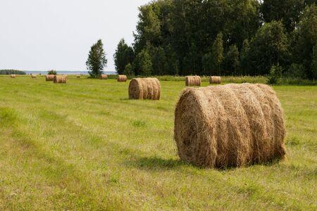 Rolled haystacks on an agricultural field. Landscape. Harvesting