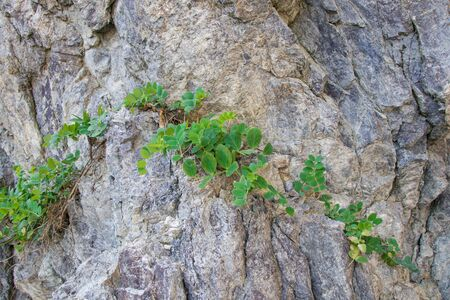 The texture of the rock is gray and paths of small leaves growing on it.