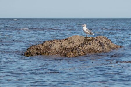 A beautiful seagull calmly standing on a stone among the sea waves. Island Sakhalin, Russia