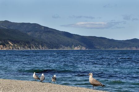 Landscape with brutal seagulls on the coast of the Sea of Okhotsk. Sakhalin Island, Russia