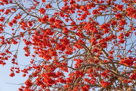 Autumn or winter texture. Rowan branches with bright red bunches of ripe berries against a blue sky.