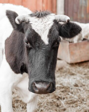 Close up portrait of a black and white cow looking at the camera.