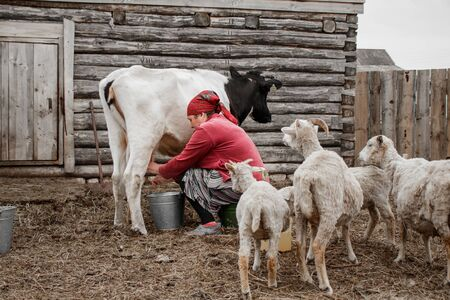 A woman in a red headscarf milks a black and white cow on a farm in a Siberian village, Russia. A few white goats go to her.