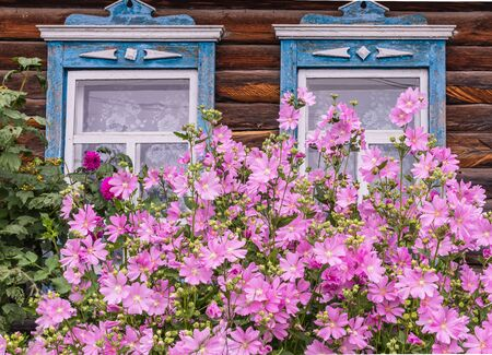 Two window with old wood shabby blue platbands in the village house. Mallow bush with delicate pink flowers Siberian village. Russia.