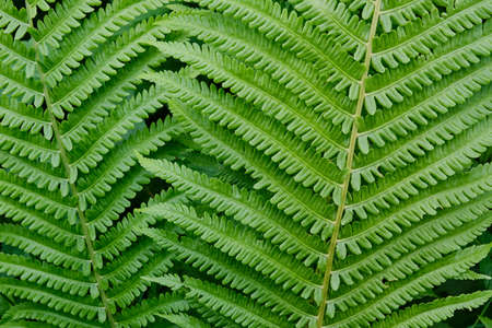 Close up of fern leaves as background