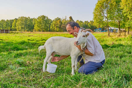 Rural scene. A senior asian man in a white shirt milks a white goat and laughs on a meadow in a Siberian village, Russia Stock Photo