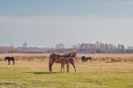 The brown cute foal sucks milk from the nipple of the filly's udder. Horses graze in a pasture late autumn. Copy space