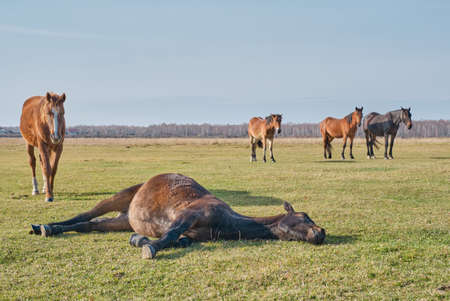 The brown cute horse sleeps peacefully on his side, lying on the grass, and snores. A herd of horses grazes in a pasture late autumn. Copy space