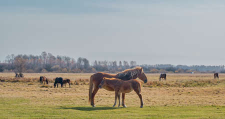 The brown cute foal and the filly. Horses graze in a pasture late autumn. Copy space