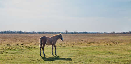 The brown cute foal grazes in a pasture late autumn. Copy space 免版税图像