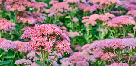 Blooming meadow with pink Sedum spectabile flowers.