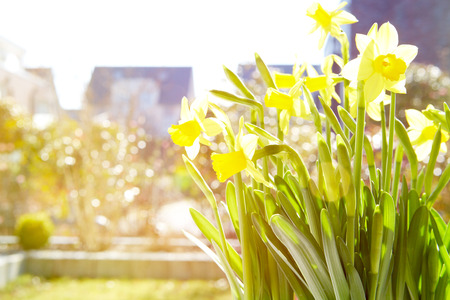 love pic: Cheerful Spring Bulbs. Background of flowering white narcissus and yellow daffodils under spring sunshine