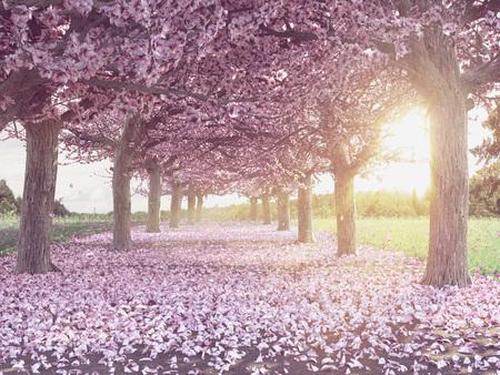 Zeilen der wunderschön aufblühenden Kirschbäumen auf eine grüne Wiese Lizenzfreie Bilder