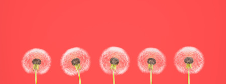 pantone: dandelion on colorful background, with red pantone. 3d rendering Stock Photo