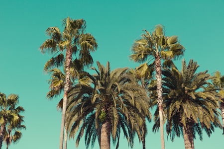 palm: Palm trees at Santa Monica beach. Vintage post processed. Fashion, travel, summer, vacation and tropical beach concept. Stock Photo