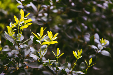 Fresh sunny leaves of olive tree photo
