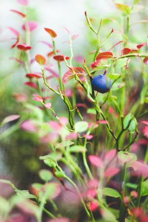 bilberry: The bilberry Stock Photo