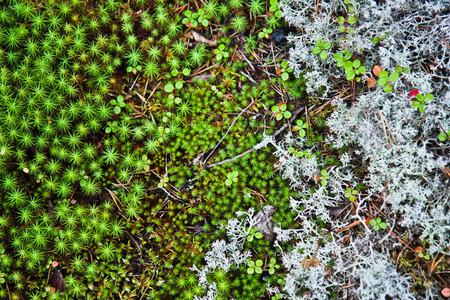 Mosses and lichens of Karelia photo