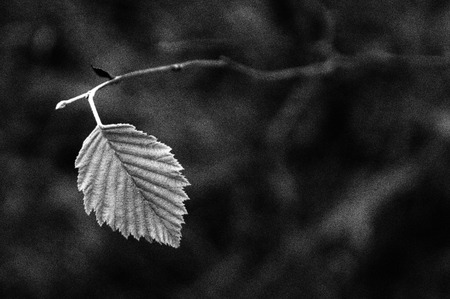 Black and white artistic photography of the last autumn leaf photo