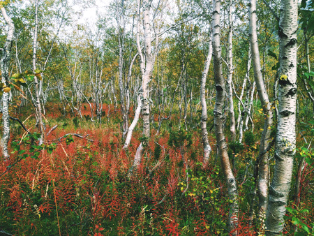 european white birch: Autumn birch forest in Khibiny mountains, Russia