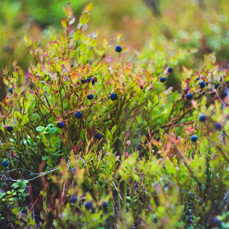 bilberry: Bilberry-bush