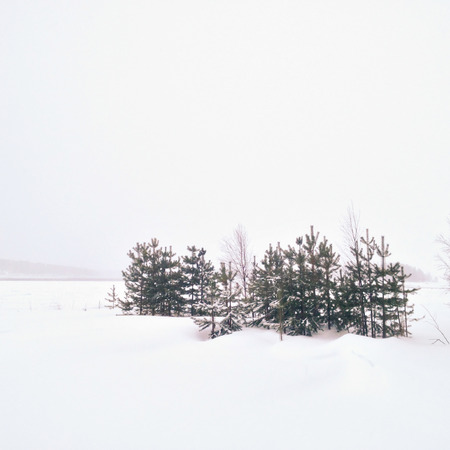 Minimalistic view of young confier forest in winter, Northern Russia, Karelia photo